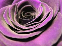 Flower, Purple, Violet, Rose Family royalty free stock photography