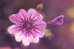 Flower. Purple-White Flower from the family of Malva Stock Images
