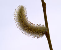 The Flower of pussy willow Royalty Free Stock Photos