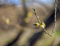 Flower of pussy-willow on a blurred background in spring stock image