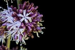 Flower Queen of Dracaenas Stock Image