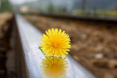 Flower on rail tracks Stock Photography