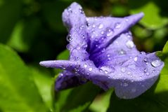 Flower after the rain. A blue bell photographed in a garden in west Africa after a rainfall Stock Photo