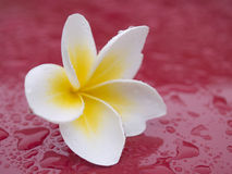 Flower after rain. A bright tropical flower after rain Royalty Free Stock Image