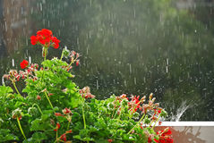 Flower and rain royalty free stock photo