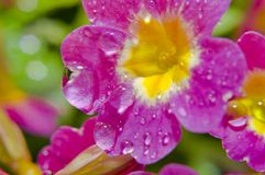 Flower after rain Royalty Free Stock Images