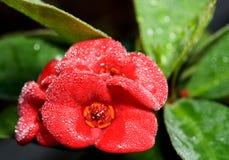 Flower in rain Stock Images