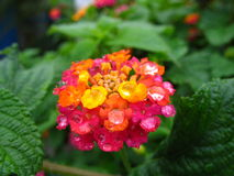 Flower after the rain. Rain drops, flower after the rain, closeup red and yellow flower royalty free stock photos