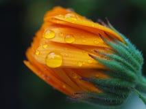 Flower. And rain Stock Photo