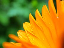Flower. And rain royalty free stock images