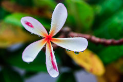 Flower (After The Rain). Bad Weather Made A Fresh Flower royalty free stock photography