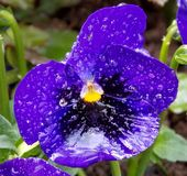 Flower in the rain. Blue flower full of rain drops Royalty Free Stock Photography