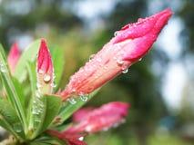 Flower#rain#morning#nature Royalty Free Stock Images