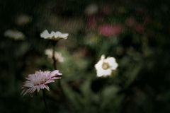 Flower in the rain Royalty Free Stock Image