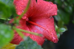 Flower after the rain with water droplets. Flower after rain with water droplets pink red Stock Images
