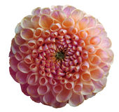 Flower rainbow pink dahlia white isolated background with clipping path. Closeup. no shadows. Nature Stock Photo