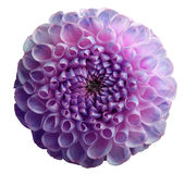 Flower rainbow violet dahlia. Dew on petals.  White isolated background with clipping path. Closeup. no shadows. Stock Images