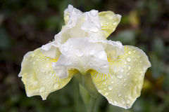 Flower and raindrops Royalty Free Stock Photos