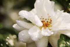 Flower with raindrops Royalty Free Stock Images