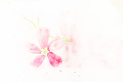 Flower (Rangoon creeper) watercolor illustration. Stock Photography