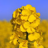 Flower of royalty free stock images