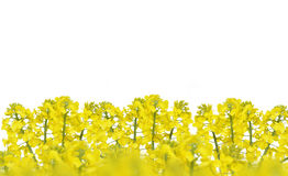 Flower of a rapeseed Stock Photography