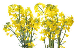 Flower of a rapeseed Royalty Free Stock Images