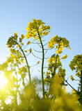 Flower of a rapeseed Royalty Free Stock Image