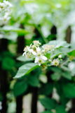 A flower of a raspberry. Flowering raspberries in the garden. Young sprout of raspberries in spring Royalty Free Stock Photo