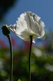 Flower and raw capsule of poppy Stock Image