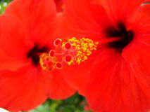 Flower red Royalty Free Stock Photos