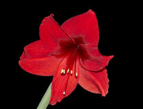 Flower of the red Amaryllis Stock Photo