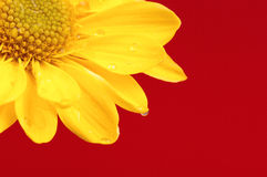 Flower on a red background. Royalty Free Stock Photo