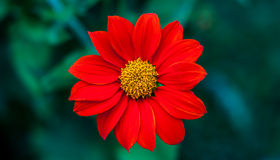 Flower. Red flower is beautiful colour Stock Images