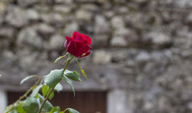 Flower. A red flower for a brick wall Royalty Free Stock Photo
