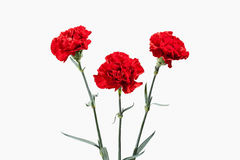 Flower. Red Carnations Bouquet Stock Photos