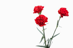 Flower. Red carnations bouquet isolated on white background Royalty Free Stock Image