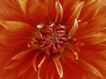 Flower red.  Closeup. blooms beautiful dahlia. for design. Royalty Free Stock Photography