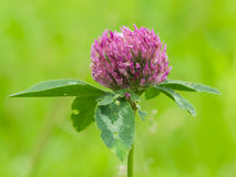 Flower of red clover on blurred green macro, shallow DOF, selective focus. Flower of red clover on blurred green macro, selective focus, shallow DOF stock image