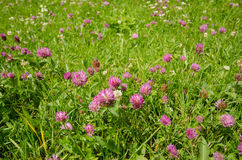 Flower of a red clover on a meadow Royalty Free Stock Photo