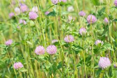 Flower of red clover Royalty Free Stock Photography