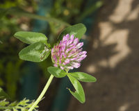 Flower of Red Clover, Trifolium pratense, with bokeh background macro, selective focus, shallow DOF.  stock photography