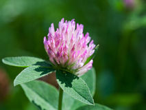 Flower of red clover Royalty Free Stock Photos