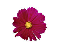 Flower of red cosmos isolated Stock Photography