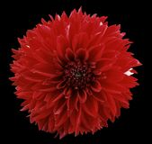 Flower  red dahlia. Black isolated background with clipping path.   Closeup.  no shadows.  For design. Royalty Free Stock Photo