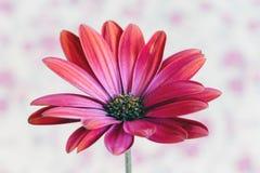 Flower red Dimorfoteca Royalty Free Stock Image