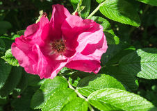 Flower of a red dog rose against a background of green leaves Stock Photo