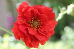 Flower, Red, Flora, Petal Stock Image