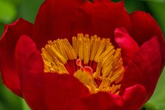 Flower, Red Flower, Red, Flora Royalty Free Stock Photos