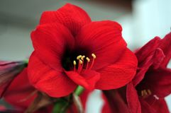Flower, Red, Flowering Plant, Plant royalty free stock photos